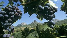 Виноград сорта Мускат гамбургский