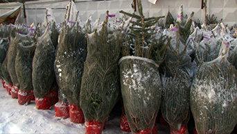 Как выбрать живую елку в горшке и сохранить до высадки в грунт_исправленная