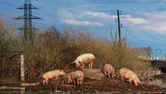 Свиньи на вольном выпасе. Архивное фото