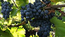 Сбор урожая винограда в ОАО Янтарное