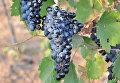 Виноградная гроздь