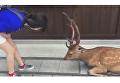 Пятнистый олень из парка в японском городе Нара изящно поклонился девушке, которая угостила его лакомством