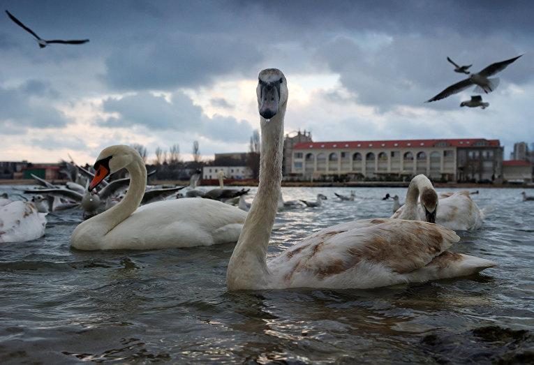 Лебеди в бухте Омега в Севастополе