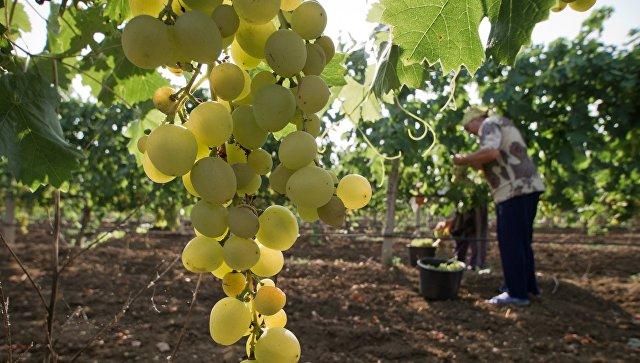 Аксенов призвал крымских виноделов соперничать смировыми лидерами ветви
