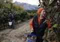 Сбор киви в Крыму