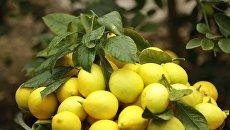 Сбор лимонов в Крыму