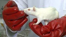 Молодые ученые КФУ доказали на крысах вред электронных сигарет для легких