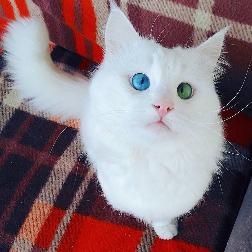 Турецкий кот Алош