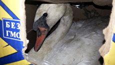 Лебеди, которых обнаружили на Керченской переправе госинспекторы минприроды Крыма