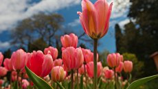 Парад тюльпанов в Никитском ботаническом саду