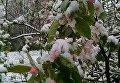 Цветущие деревья Симферополя в снегу. 23 апреля 2017