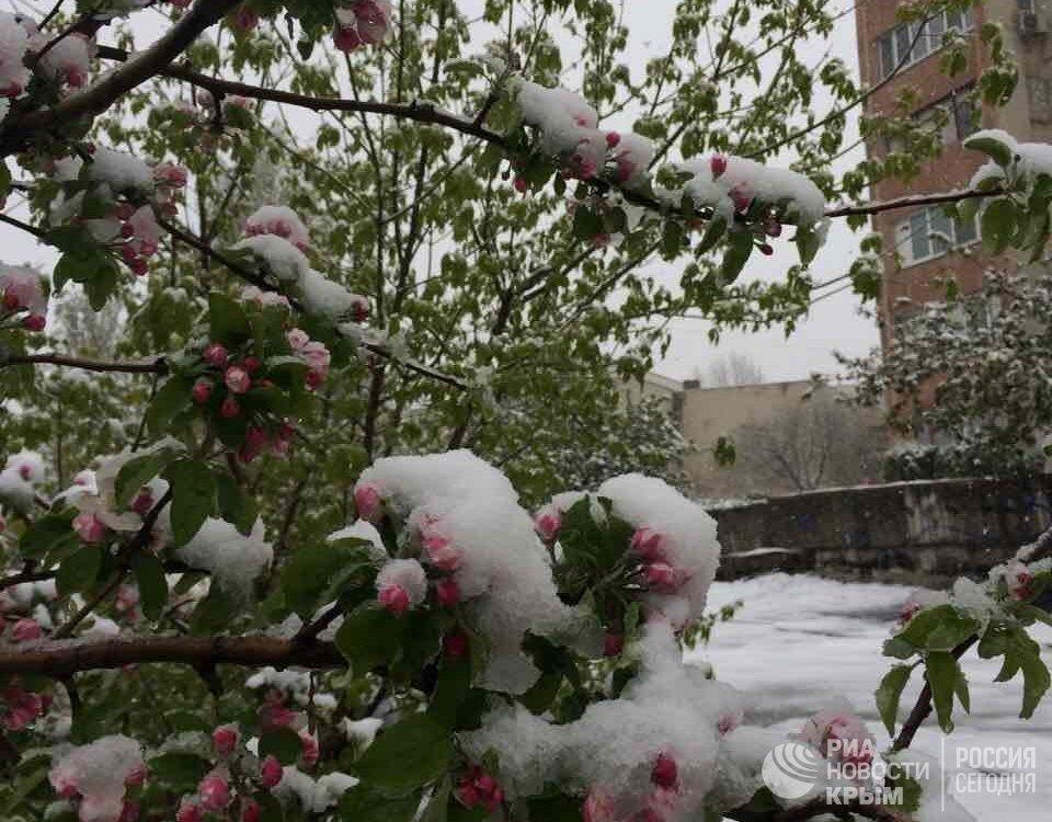 Цветущие деревья в снегу. 23 апреля 2017