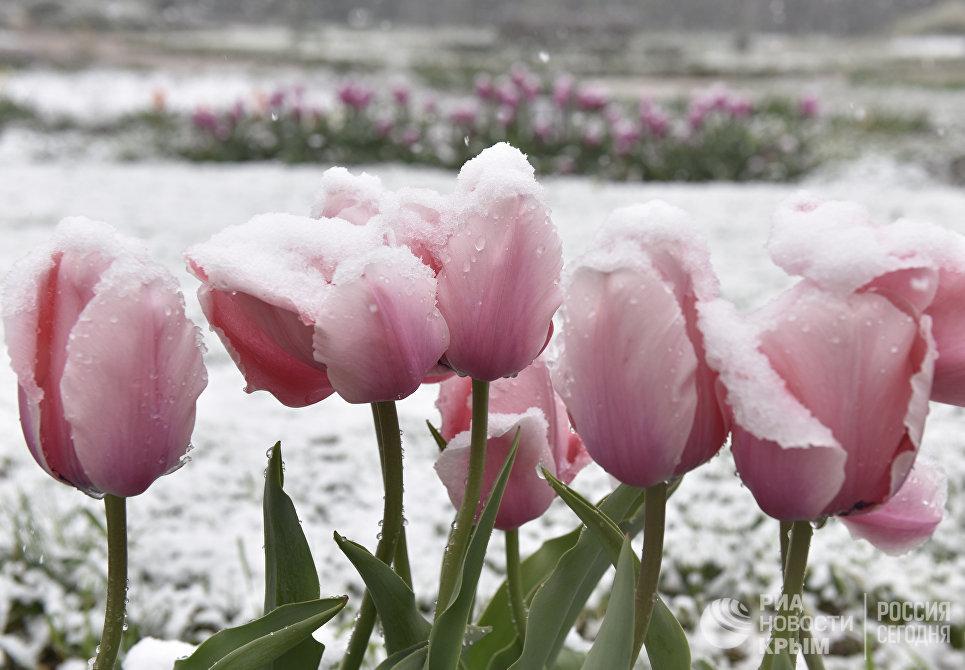 Цветы в снегу. 23 апреля 2017