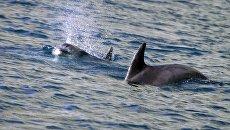 Дельфины в водах Черного моря