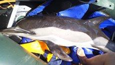 Дельфин-белобочка, которого удалось спасти у берегов Керчи