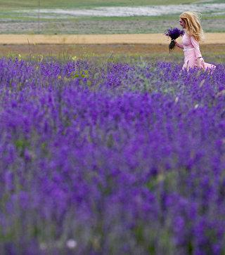 Цветение лаванды в Крыму