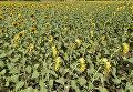 Цветение подсолнухов в Крыму