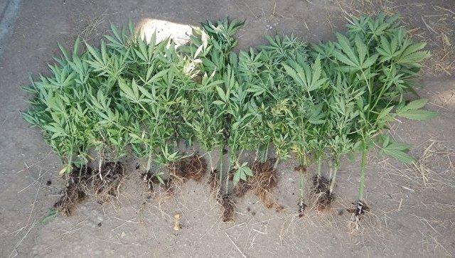 Полицейские изъяли у жителя Джанкоя растения конопли