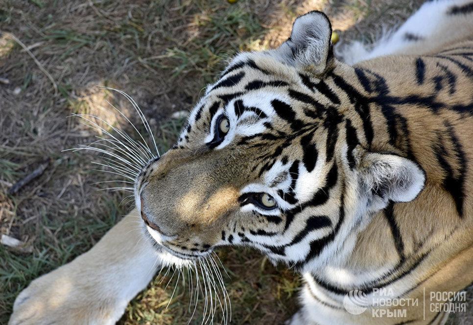 Тигр в сафари-парке Тайган в Крыму