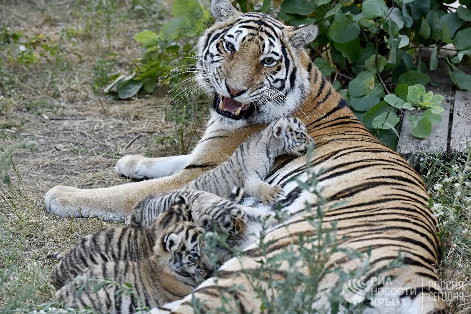 """Тигрица Василиса с тигрятами в сафари-парке """"Тайган"""" в Крыму"""
