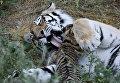 Тигрица Василиса с тигрятами в сафари-парке Тайган в Крыму