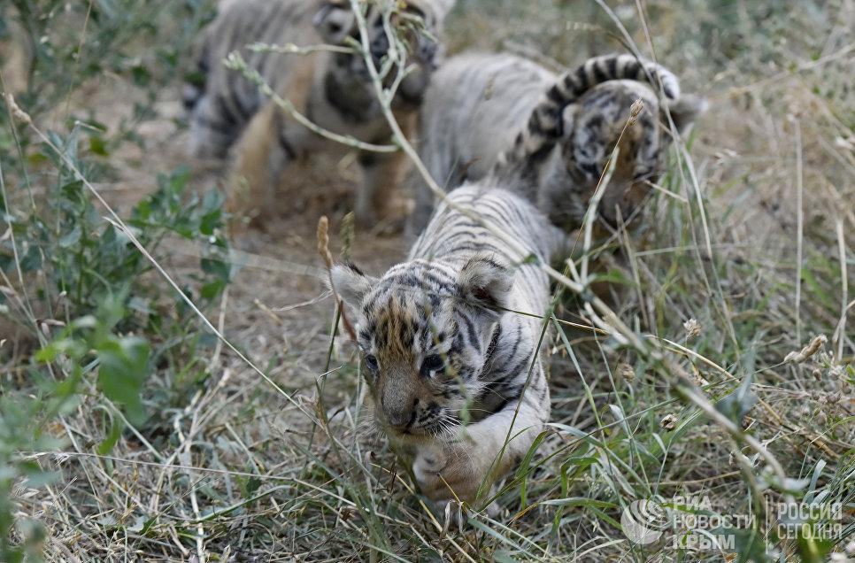 """Тигрята в сафари-парке """"Тайган"""" в Крыму"""