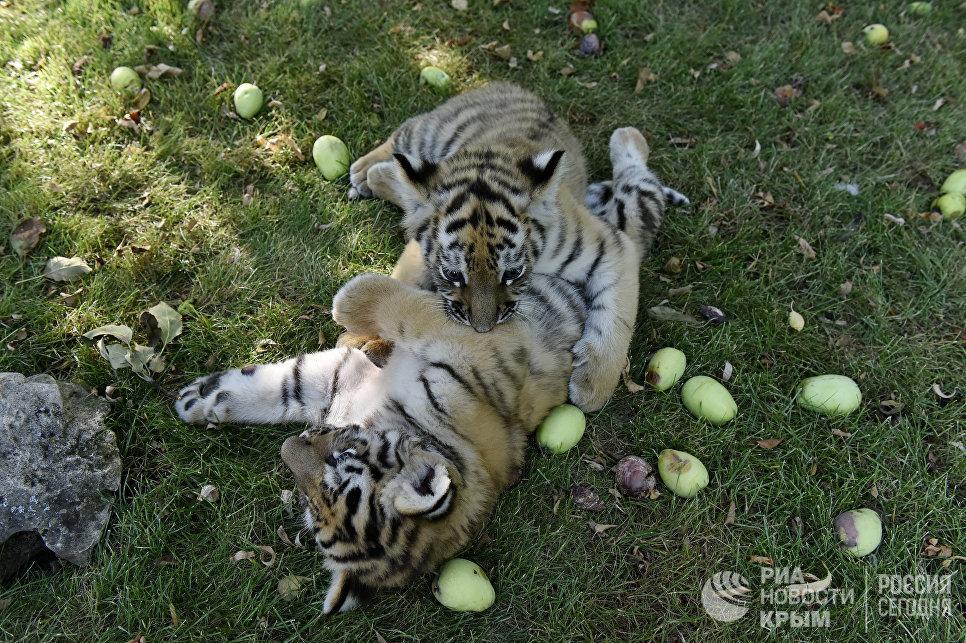 """Тигрята в сафаре-парке """"Тайган"""" в Крыму"""