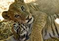 Тигренок и львенок в сафари-парке Тайган в Крыму
