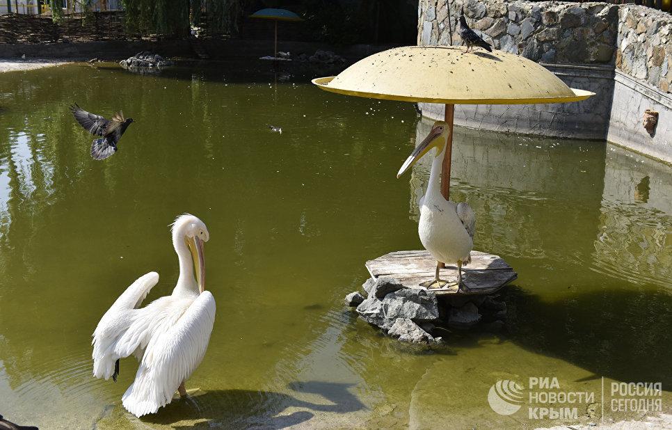 Пеликаны в Детском парке Симферополя прячутся от жары