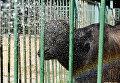 Бизона в Детском парке Симферополя поливают водой во время дневного зноя