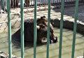 Медведь в Детском парке Симферополя купается в бассейне во время дневного зноя