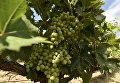 Виноградники в Бахчисарайском районе Крыма