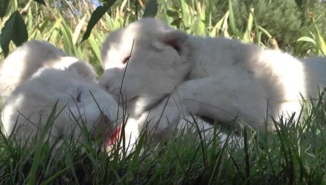 Сбежали из корзинки, уснули на траве: первый день жизни белых львят в Крыму