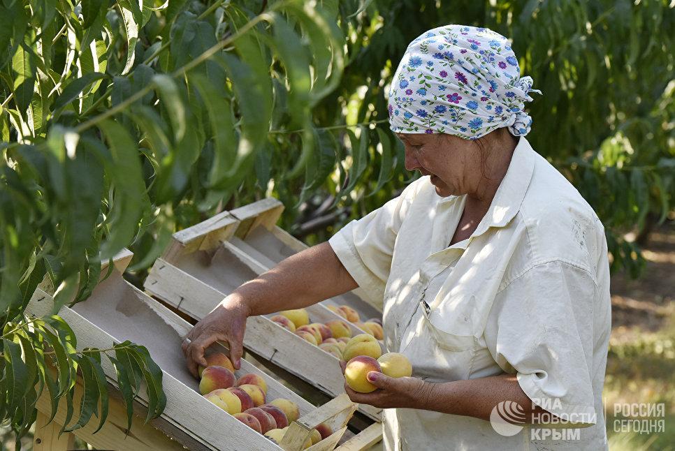 Сбор персиков в Сакском районе Крыма