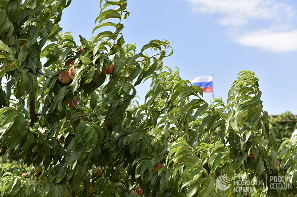 Персиковые сады в Бахчисарайском районе Крыма