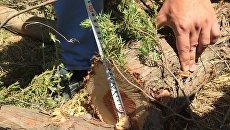 Вырубка краснокнижных деревьев. Архивное фот
