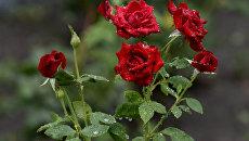 Розы под дождем. Симферополь