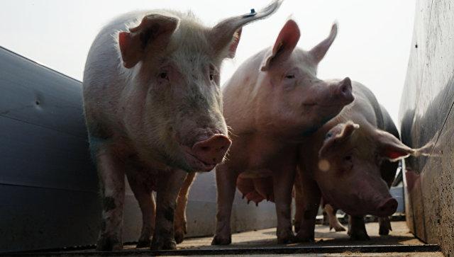ВОдесской области бушует чума свиней