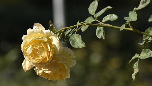 Роза в Ботаническом саду Крымского федерального университета им.Вернадского в Симферополе