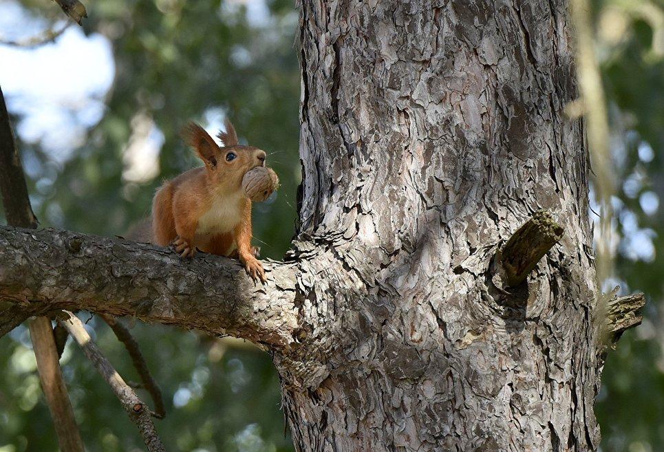 Белка запасает орехи в Ботаническом саду Крымского федерального университета им.Вернадского в Симферополе