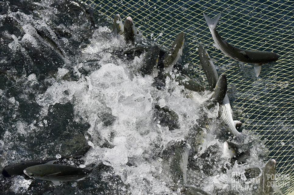Рыба в сетях на мысе Тарханкут. Большой Атлеш