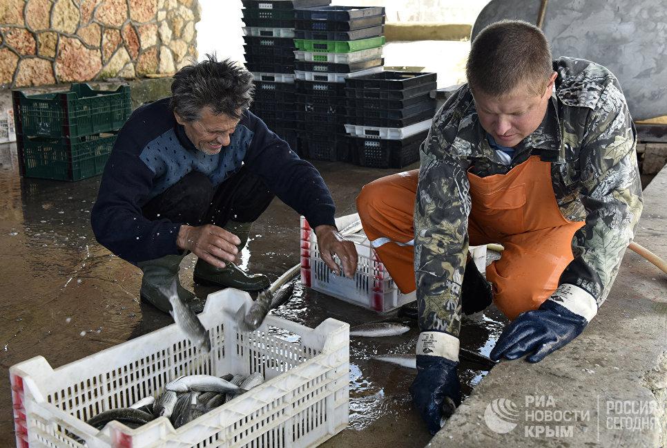 Рыбаки сортируют пойманную кефаль-лобана по ящикам. Мыс Тарханкут, Большой Атлеш