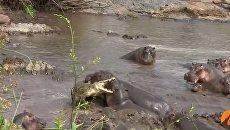 Схватка крокодила с бегемотами в Южной Африке