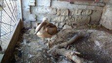 Птенец розового пеликана, которого нашли на водоочистных сооружениях в Феодосии инспекторы Минприроды Крыма