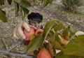 Сбор урожая хурмы на плантациях в Кореизе