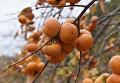 Дерево с плодами хурмы на плантациях в Кореизе