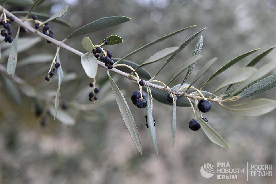 Оливки на плантациях в Кореизе