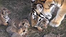 В Крыму родилось шесть тигрят