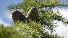 Шишки кедра гималайского, растущего в окрестностях Массандры