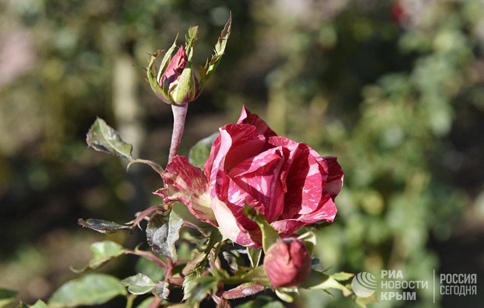 Розы в Симферополе